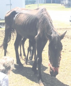 An emaciated mare and her ailing foal, just minutes after their arrival at a Greenwood rescue farm. Both had spent more than three weeks in the care of Fairfield County Animal Services. Two days later, the mare was dead.